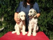 Adorabe and Cute Afghan Hound Puppies for sale
