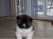 Cute And Potty Trained Akita Puppies for sale