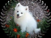 Adorabe and Cute American Eskimo Puppies for sale