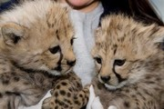 Home raised tamed baby tiger cubs and cheetahs for sale
