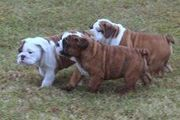 AKC Reg English Bulldog Puppies