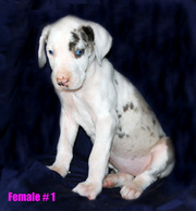 Great Dane puppies 5 males & 2 females