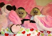 Adorable Male and Female Babies Capuchin Monkyes