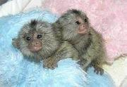 Baby marmosets for adoption