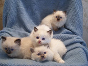 cute home raised kittens Serval ,  Ocelot,  Cheetah and Savannah kittens