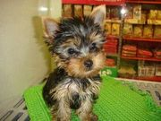 Adorable Yorkie Puppy For Free Adoption (amysosa@live.com)