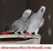 Talking african grey parrots