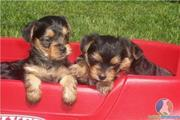 babies teacup Yorkie puppies for adoption